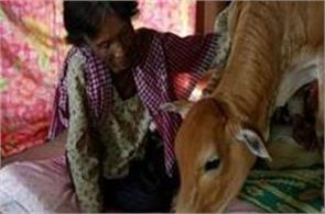 cambodian woman marries calf considers her reincarnated husband