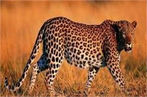 eight year old child dies due to leopard attack