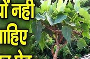 peepal plant grown in the house be careful caution