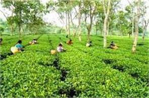 darjeeling  tea gardens  organization  workers  vinod mohan  revenue loss