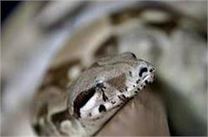 woman calls 911 while being bitten by boa constrictor