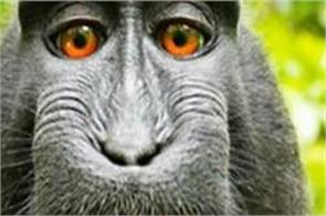 lawsuit over copyright for monkey s selfies settled