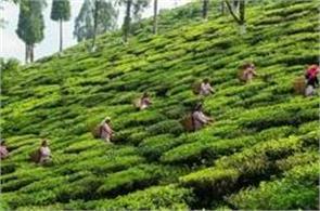major gardens of darjeeling awaiting resumption of work