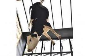 hanging cow at australia restaurant sparks controversy