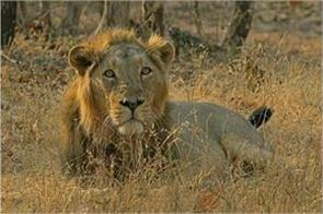 lions start vaccination in gujarat s gir