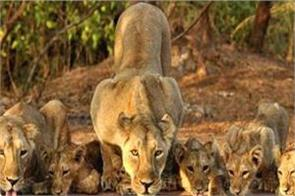 number of lions died in the fall