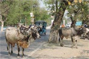 road accidents and deaths due to stray cattle