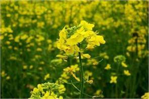 sc asks centre to clear stand in 2 weeks on trials of gm mustard crop
