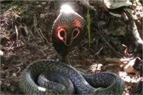 red light emerging from the head of cobra snake
