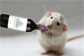 mice in bihar again drink liquor