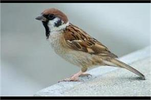 government school sparrows create unique bird conservation