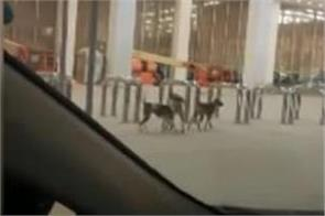 manager suspended after stray dogs spotted in islamabad airport s lounge