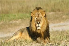 three lion cubs died again in gujarat s gir forest