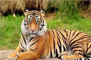 odisha requests to send team for capturing tigress from madhya pradesh
