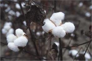 cotton prices rise 20 percent