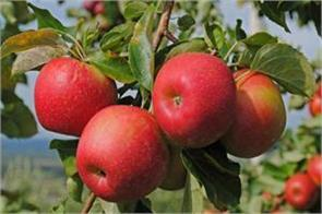 apple food may be costly snow loss due to losses of 500 crores farmers
