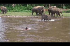 watch video elephant saves mens life from the river