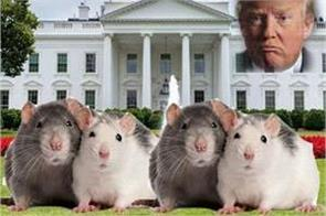 america white house also troubled ahead of rats