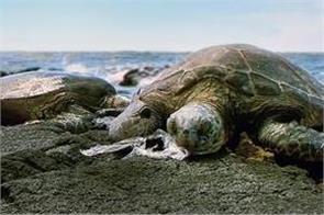 microplastics found in all sea turtle species