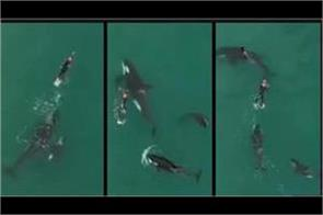 stunning video of woman swimming with killer whales goes viral