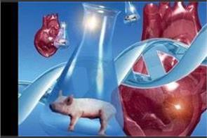scientists claim animal organ to successfully transplant in human