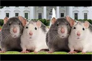 rats became challange for us even on the white house lawn
