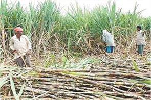 sugarcane farmers owe rs 7 826 crore on sugar mills