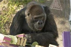world  s oldest gorillas dies at san diego zoo safari park