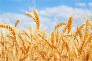 wheat production can remain at last year s level