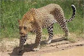 leopard kill the child