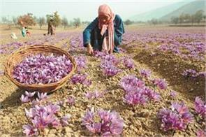 due to dry shortage in saffron production in jammu and kashmir