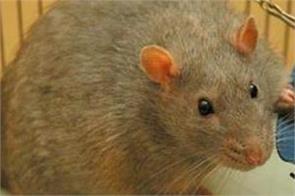 infection diabetic patient emergency department rat doctors