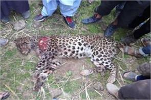 man killed lepoard to save his childrens