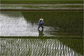 unseasonable rain cause heavily loss to crops