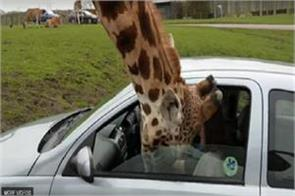 hungry giraffe enters the inside of the car to eat the head the video viral