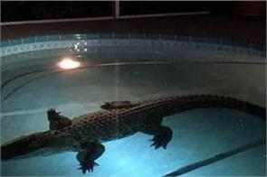 crocodile fun in the swimming pool