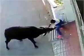 bull attacked on the youth incident record in cctv