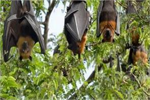 dangers of nipah virus mango banana and grape ban