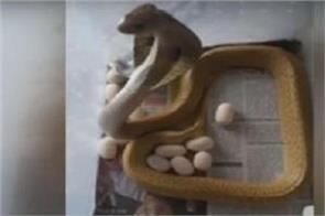 odisha bhubaneswar cobra snake social media