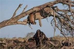 leopard kisses buffalo in african jungle