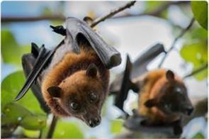 nipah virus spread due to hungry bats