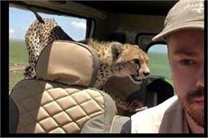 tanzania cheetah jumps in next to a tourist inside a safari jeep