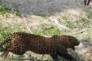 mother safe her child for leopard