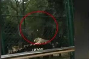 visitors throw stones at tiger at china zoo video viral