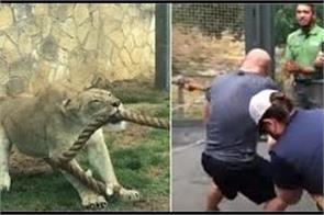 three professional wrestlers couldn t beat a lion in tug of war
