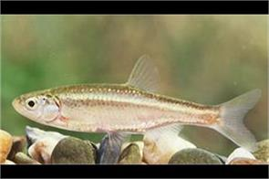 male fish mutating into females because of waste chemicals