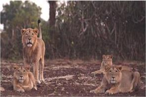 5 lionesses and 14 cubs together in gir forest