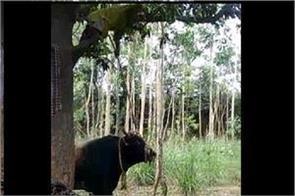 terror of animals man saved his life climbing tree