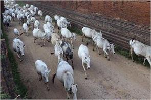 delhi 36 cow dead found in gophershan trust gaushala
