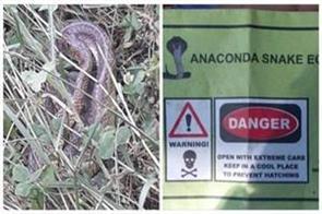 anaconda snake eggs in kashmir